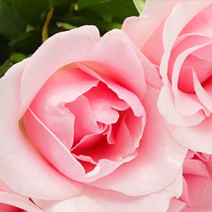 Ruže i ukrasno bilje