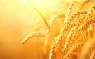 Sobred, Sosthene, Izalco - pšenica za sve terene